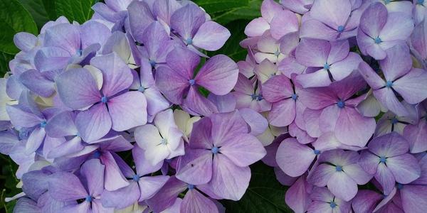 紫陽花  あじさい